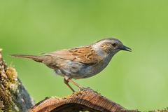 Dunnock standing in woodland. With a green background Stock Photos
