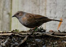 Dunnock on Stone Wall. Feeding Royalty Free Stock Photography