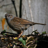 Dunnock on Stone Wall. Feeding Royalty Free Stock Photo