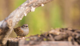 Dunnock under a branch Stock Photo