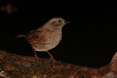 Dunnock. Royalty Free Stock Photography