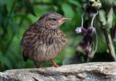 The dunnock & x28;Prunella modularis& x29; is a small passerine, or perching bird. Stock Image