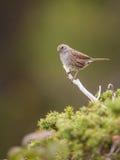 Dunnockfågel Royaltyfri Foto