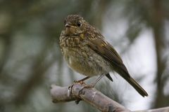 Dunnockvogel gehockt Lizenzfreie Stockfotos