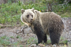 Dunraven Grizzly Bear 4. A wild Grizzly Bear searches for vanishing Whitebark Pine nuts on Dunraven Pass in Yellowstone Park stock photo