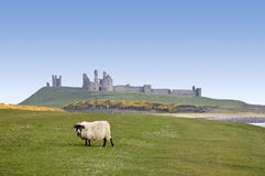 Dunstanburgh castle sheep northumberland coast Royalty Free Stock Photo