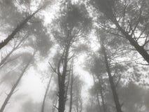 Dunstiger Kieferwald mit Sonnenlicht am Herbstmorgen lizenzfreie stockbilder