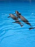 Duo. Two dolphins swimming together and surfacing at the same time Royalty Free Stock Image