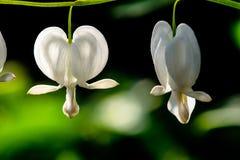 Duo bianco d'emorraggia del cuore Immagine Stock Libera da Diritti