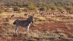 Duo da zebra Imagem de Stock Royalty Free