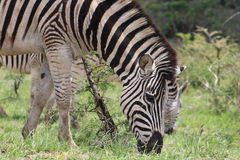 Duo da zebra no movimento Foto de Stock