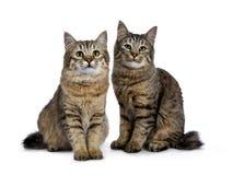 Duo de dois gatinhos do gato de Pixie Bob ambos que sentam-se em linha reta acima do isolado no fundo branco e que enfrentam a câ fotografia de stock royalty free