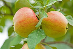 Duo de Honeycrisp Photos stock