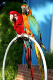 Duo de Macaw Photo stock