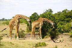 Duo della giraffa nel Kenia fotografia stock