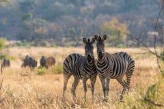 Duo della zebra Immagine Stock