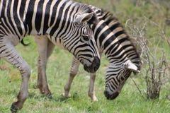 Duo della zebra sul movimento Immagine Stock