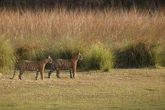 Duo delle tigri Fotografia Stock