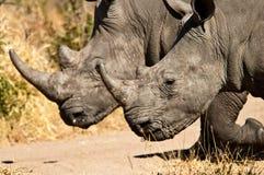 Duo di rinoceronte Fotografie Stock
