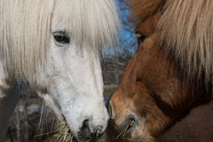 Duo islandais de cheval Photographie stock