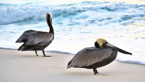 Duo of Pelicans. Duo of brown pelicans resting on shore at sunrise Stock Photo