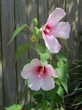A duo of pink hibiscus flowers against a weathered fence. Two delicate but hardy pink hibiscus blooms in the summer sun against a brown weathered fence royalty free stock photography