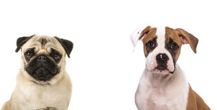Duo portrait of two dogs. Both facing the camera a pug dog and a american bulldog puppy  on a white background Royalty Free Stock Photos