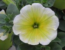 Duo potunia flower in the garden. A duo potunia flower in the garden Stock Photography