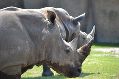 Duo of rhinoseros. Duo of rhinos at Wildlands Emmen stock photo