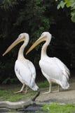 Duo van grote witte pelikanen Stock Foto
