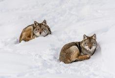 Duo von den Kojoten, die auf dem Schnee liegen stockbild