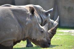 Duo von rhinoseros stockfoto