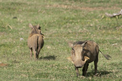 Duo of warthogs Stock Images