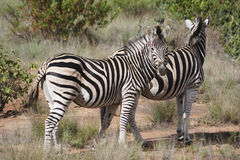 duo zebra στοκ εικόνες