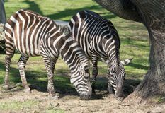 Duo of Zebras Eating Grass Near a Protected Tree Under the Sun stock photography