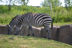 Duo of Zebras relaxing. Zebras at Wildlands Emmen, relaxing in the sun stock photos