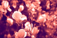 Duotone effect coral and ultraviolet for toning photos with flowers. concept royalty free stock photo