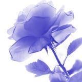 Duotone image of rose Stock Image