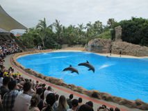 Dupins show in the Loro park. Water mammals, dresure, public, animals Stock Image