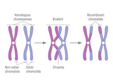 Duplicated Homologous Chromosomes Pair and Crossing-over royalty free illustration