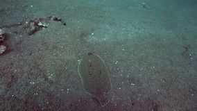 Dupliciocellatus Ocellated di Pseudorhombus del dimenamento con il punto tre e piccolo pesce di corallo sulla sabbia in mare zulù stock footage