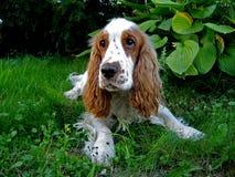 Duque 2, um cão surpreendente Foto de Stock Royalty Free