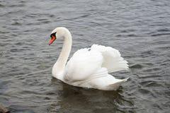 Durée sauvage Cygne sur l'eau de lac, cygnes sur l'étang Photographie stock