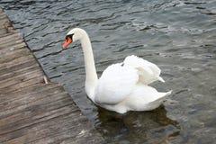 Durée sauvage Cygne sur l'eau de lac, cygnes sur l'étang Photo stock