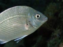 Durée sous-marine - Sea.Bream Photos stock