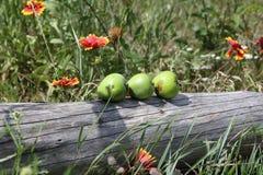 Durée toujours avec les pommes vertes images stock