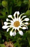 Durée toujours, de belles, exotiques fleurs blanches Photos stock