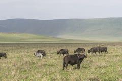 Duramente do búfalo e das zebras de Afrcan Fotos de Stock Royalty Free