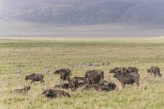Duramente do búfalo e das zebras de Afrcan Fotografia de Stock