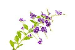 Duranta blomma som isoleras på vit bakgrund Fotografering för Bildbyråer